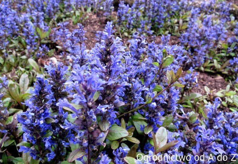 Dąbrówka i jej niebieskie kwiaty
