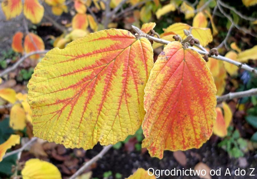 Oczar pośredni- jesienne liście