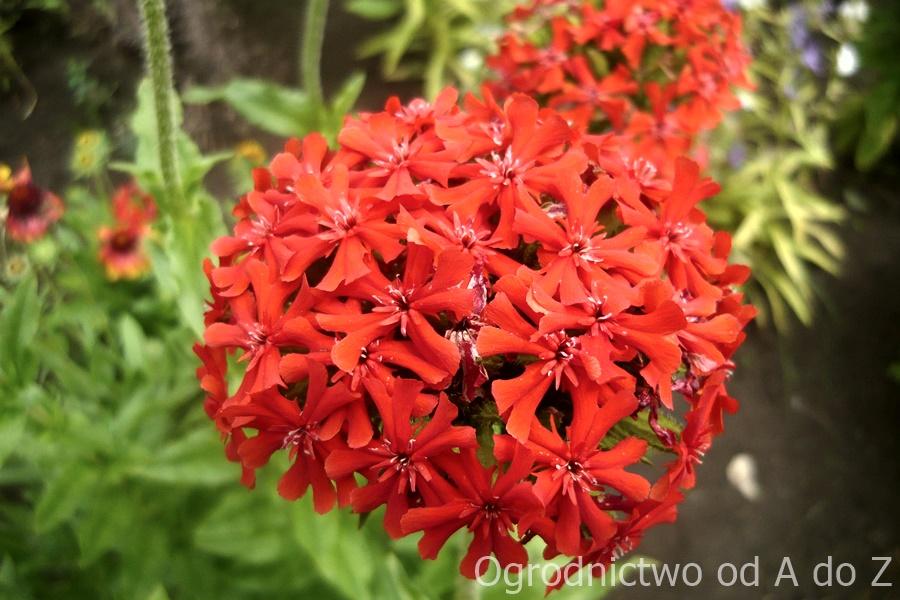 Firletka chalcedońska kwiatostan
