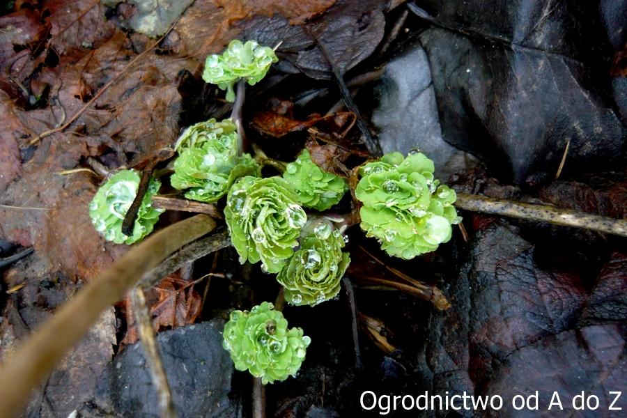 Orlik- liście