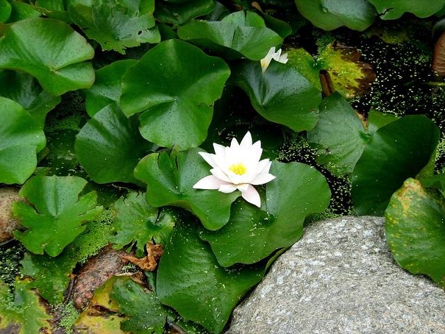 Rośliny do ogrodów wodnych