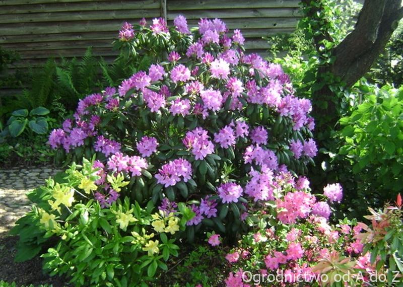 Kwitnące rododendrony