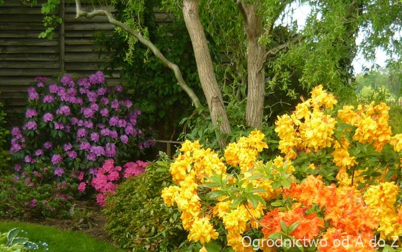 Różanecznik- pełnia kwitnienia