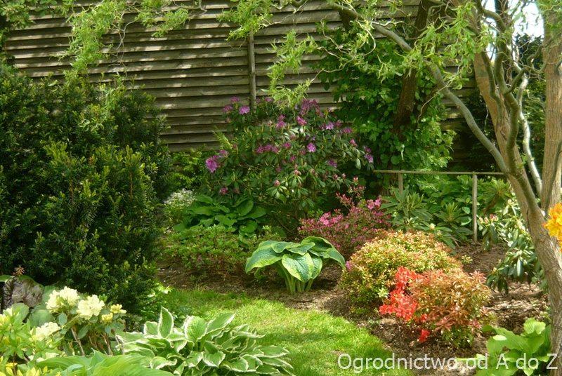 Wiosna i rododendrony