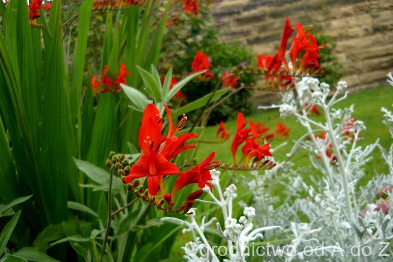 Krokosmia- kwiatostany