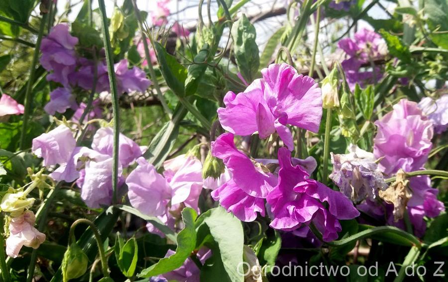 Sierpień-w-ogrodzie